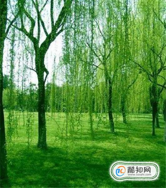 壁纸 垂柳 电脑 风景 风景壁纸 柳树 摄影 树 桌面 530_600