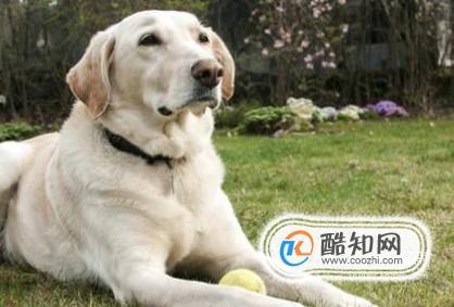 怎样辨认拉布拉多犬品质的好坏