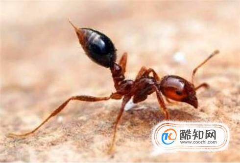红火蚁咬伤后如何消肿