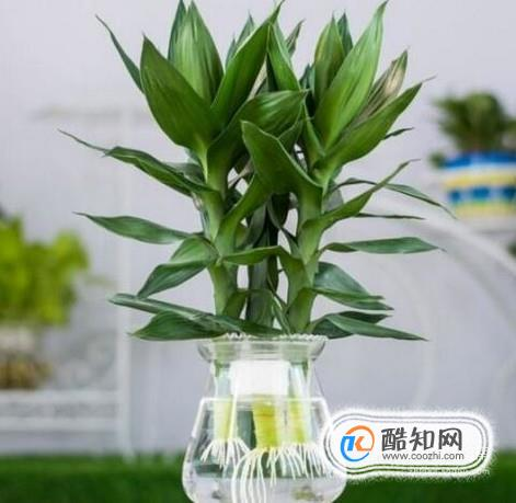 水培觀音竹葉子發黃怎么辦