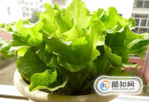 盆栽生菜的种植方法