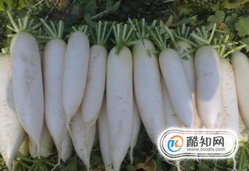 怎样培养出优良质量的白萝卜
