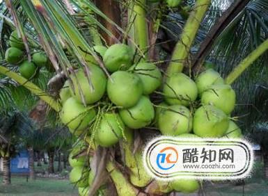 如何挑选优质椰子