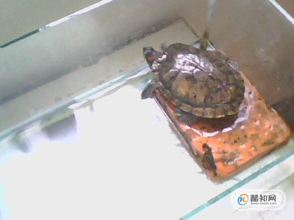 乌龟肺炎怎么治,乌龟肺炎会自己好吗