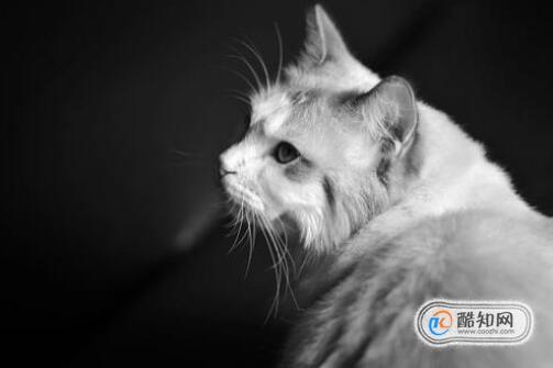 布偶貓不吃東西怎么辦呢?