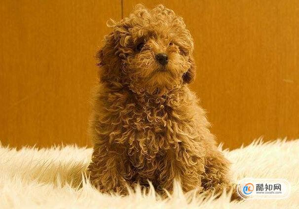 貴賓犬長到幾個月定型,怎么讓貴賓犬長得快些
