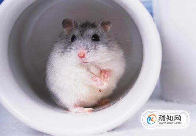 養殖倉鼠的種類詳細說明