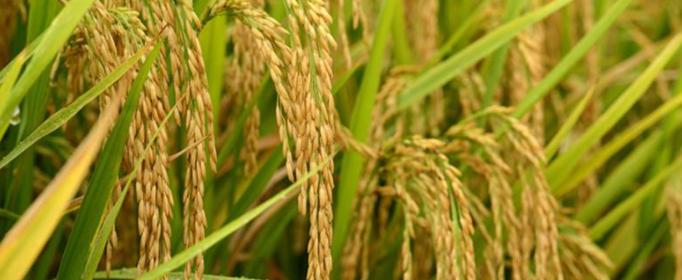 水稻是什么时候被?#34987;?#30340;?