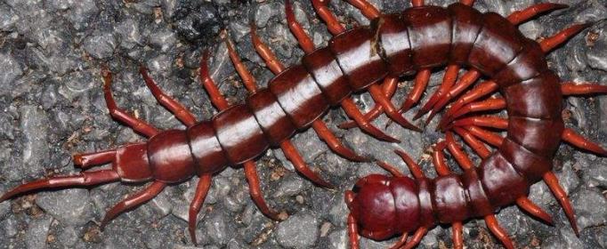 为什么说蜈蚣也是毒物?
