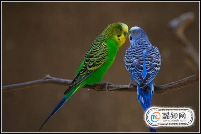怎樣分辨虎皮鸚鵡的公母雌雄