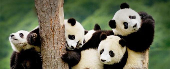 大熊猫生活在什么地方?