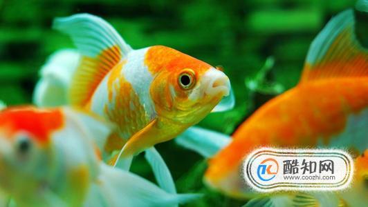 怎么辨别雌雄金鱼?