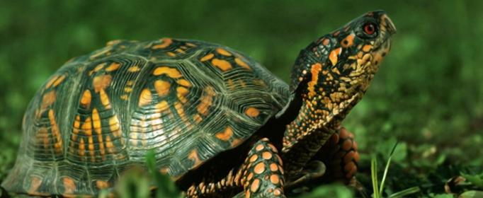 巴西龜吃什么?