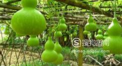 葫芦的种植方法