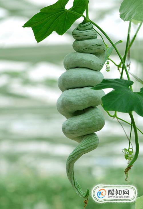 蛇豆的做法大全