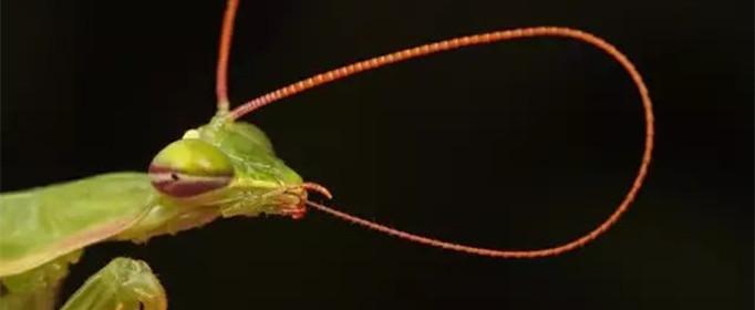 为什么昆虫没有鼻子却嗅觉灵敏?