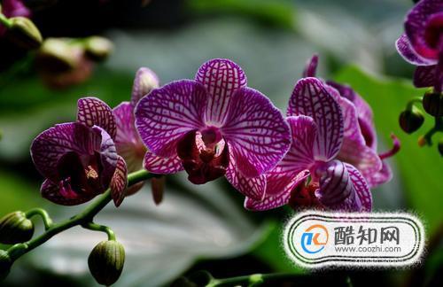 蝴蝶兰的养殖方法及注意事项大全