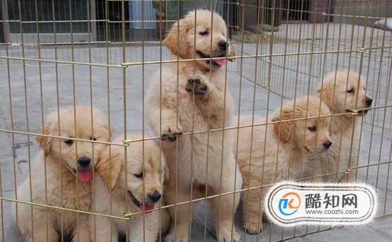 關于初次喂養金毛犬注意事項,主人需要了解這些