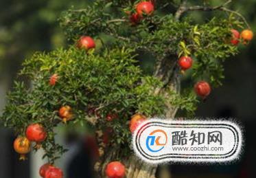 石榴樹應該怎樣修剪更適合它生長