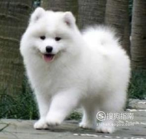 薩摩犬多少錢