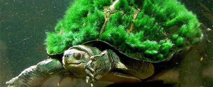 为什么绿毛龟身上会长绿毛?