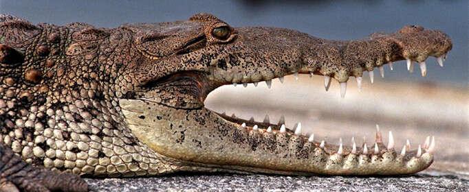 为什么鳄鱼要定期换牙?