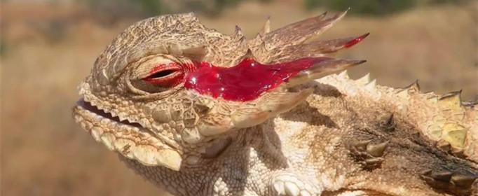 为什么角蜥的眼睛会喷血?