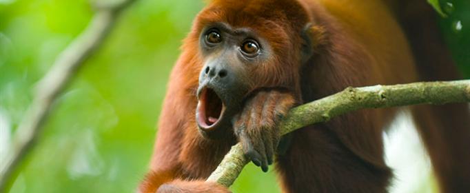 为什么吼猴的叫声很洪亮?