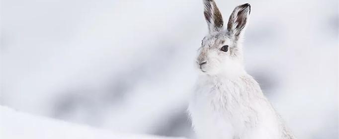 为什么雪兔会变色?