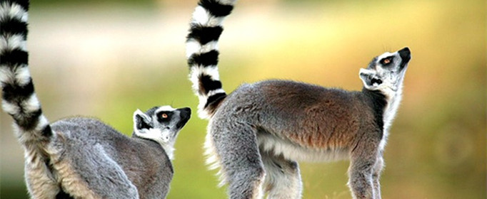 为什么环尾狐猴常竖起尾巴?