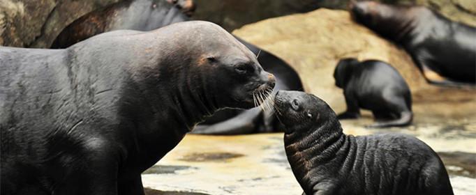 群居的海狮怎样找到自己的孩子?