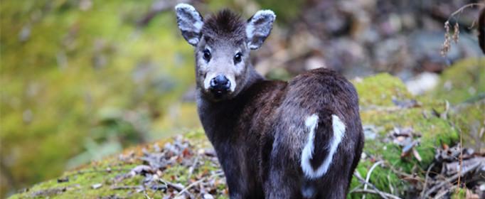 为什么毛冠鹿的头上没长角?