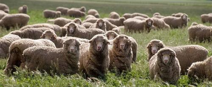 为什么澳大利亚被称为骑在羊背上的国家?