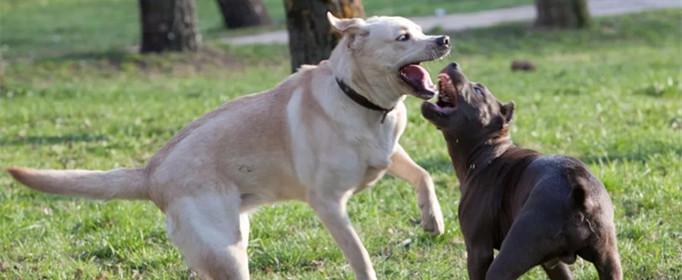 狗狗打架为什么用嘴咬不用手挠?