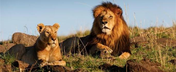 狮群的狩猎主要是由雄狮来完成的吗?