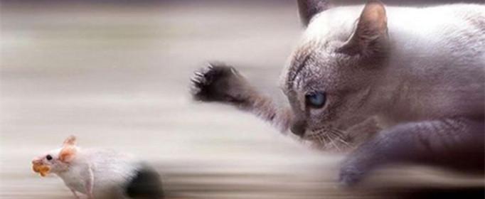貓為什么要吃老鼠?