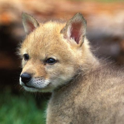 什么动物是人类最早驯化的?