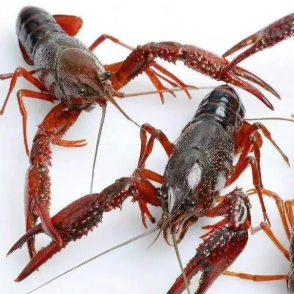 小龙虾的心脏长在什么位置?