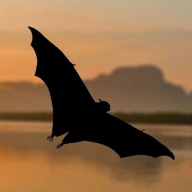 蝙蝠寶寶生下來就會倒掛嗎?